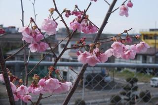 卒業記念樹だけが花を咲かせています。
