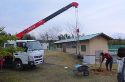 クレーンで桜の木を運びます。