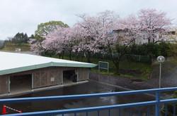 自転車小屋横の桜の木は,まだまだ見頃です。