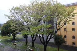 中庭の桜は,葉を随分広げてしまって,見頃を過ぎたようです。