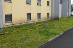 普通・管理棟西階段外側にタンポポが群生して花を咲かせています。