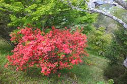 特別棟裏駐車場横のツツジも赤い花をたくさんつけています。