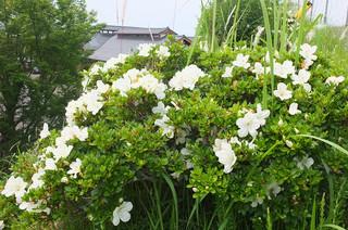 末吉町弓道場から学校への階段のところに,サツキが白い花を咲かせています。