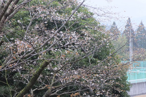 昨年と同じで開花と同時に葉も出ています。