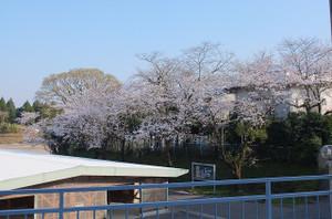 自転車小屋前のサクラの木が満開を迎え,今が見頃です。